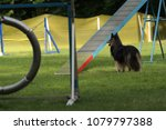 dog on agility field | Shutterstock . vector #1079797388