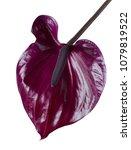 Dark Red Anthurium Against...