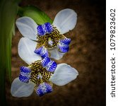 Small photo of Waking Iris, Neomarica caerulea, in nature, top view. This an ornamental plant in the Iridaceae family native of Tropical America