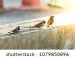 bird  eurasian tree sparrow ... | Shutterstock . vector #1079850896