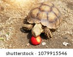african spurred tortoise in the ... | Shutterstock . vector #1079915546