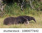 giant anteater in pantanal | Shutterstock . vector #1080077642