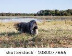 giant anteater in pantanal | Shutterstock . vector #1080077666