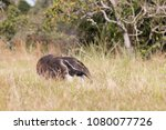 giant anteater in pantanal | Shutterstock . vector #1080077726