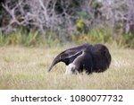 giant anteater in pantanal | Shutterstock . vector #1080077732