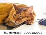 cat taking a nap types of cats... | Shutterstock . vector #1080102038