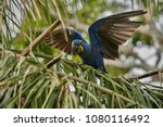 hyacinth macaw on a palm tree...   Shutterstock . vector #1080116492