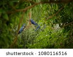 hyacinth macaw on a palm tree...   Shutterstock . vector #1080116516