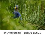 hyacinth macaw on a palm tree...   Shutterstock . vector #1080116522