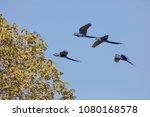 Hyacinth Macaw In Brasil...