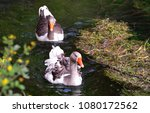 goose swims in a river | Shutterstock . vector #1080172562