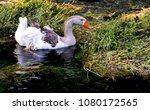 goose swims in a river | Shutterstock . vector #1080172565