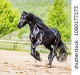black friesian stallion runs...   Shutterstock . vector #1080177275