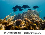 Small photo of small school of acanthurus coeruleus swimming over a reef