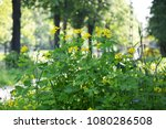 the row of blossoming celandine ...   Shutterstock . vector #1080286508