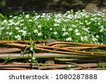 row of small white flowers with ...   Shutterstock . vector #1080287888