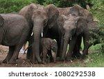 herd of elephants in masai mara ... | Shutterstock . vector #1080292538