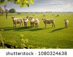 group of cows on the fresh... | Shutterstock . vector #1080324638