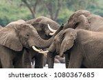 elephants in action in uganda | Shutterstock . vector #1080367685