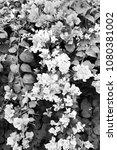 bougainvillea flower in the... | Shutterstock . vector #1080381002