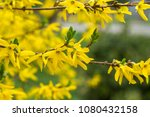 Border Forsythia Is An...