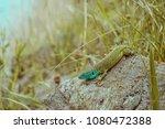 european green lizard with rock | Shutterstock . vector #1080472388