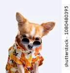 Stock photo chihuahua dog wearing a fresh color shirt put on black glasses on a white background 1080480395