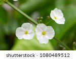 close up white flowers on... | Shutterstock . vector #1080489512