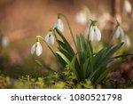 beautiful snowdrop flowers ... | Shutterstock . vector #1080521798