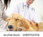 veterinarian checking the dog... | Shutterstock . vector #1080556556
