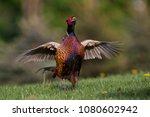 fantastic pheasant on the... | Shutterstock . vector #1080602942