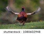 fantastic pheasant on the... | Shutterstock . vector #1080602948