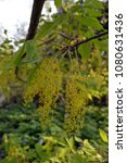 Small photo of Cissus leaf - maple (Acer cissusfolium), native to Japan, spring view with small yellow flowers
