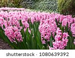 flowerbed with pink blooming... | Shutterstock . vector #1080639392
