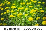 meadow with dandelions on a... | Shutterstock . vector #1080645086