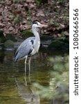 grey heron portrait | Shutterstock . vector #1080666566