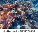 a lot of sea anemone in myanmar ... | Shutterstock . vector #1080692408