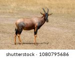 topi antelope  damaliscus... | Shutterstock . vector #1080795686