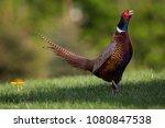 beautifull pheasant on the... | Shutterstock . vector #1080847538