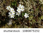 Small photo of Androsace obtusifolia; white alpine flowers on the Pizol