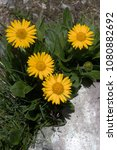 Small photo of Doronicum clusii - alpine flower of the Asteraceae on the Pizol