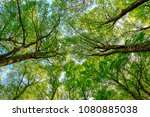 crown trees in a beech woodland.... | Shutterstock . vector #1080885038