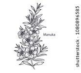 realistic medical plant manuka. ... | Shutterstock .eps vector #1080896585