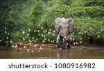african bush elephant in kruger ... | Shutterstock . vector #1080916982