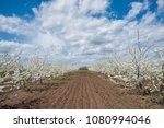 spring blooming garden  flowers ... | Shutterstock . vector #1080994046