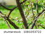 the cherry blossoms in spring... | Shutterstock . vector #1081053722