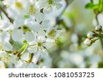 the cherry blossoms in spring... | Shutterstock . vector #1081053725