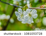 the cherry blossoms in spring... | Shutterstock . vector #1081053728