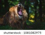 congolese lion  panthera leo... | Shutterstock . vector #1081082975