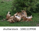 funny lions family in masai... | Shutterstock . vector #1081119908